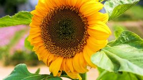 阳光下的向日葵花
