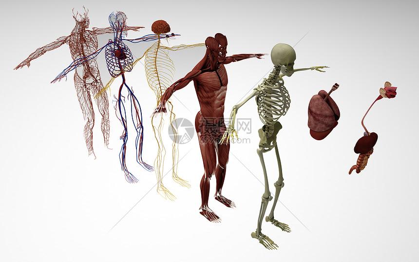 医学人体解剖图视频_人体分解图图片素材-正版创意图片401185675-摄图网
