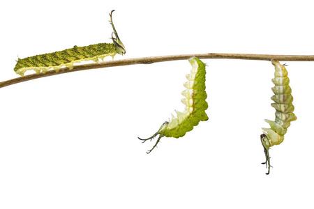 从毛虫到毛虫到豹蛉蝶 Cethosia 卡诺euanthes 蜕皮蛹和蛹挂在树枝上照片 正版商用图片09px8g 摄图新视界
